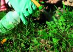 Gloved hand spraying a dandelion weed